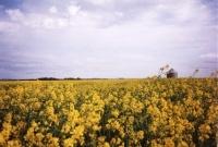 Canada : une plante prometteuse pour le biodiesel