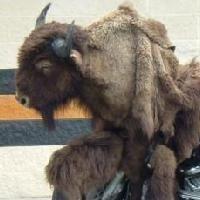 Insolite: On a retrouvé Bison futé, et il roule !