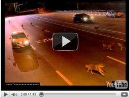 Les risques du métier de policier russe : l'attaque des loups