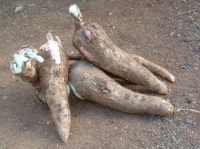 Le manioc ? Biocarburant et hydrogène en puissance !