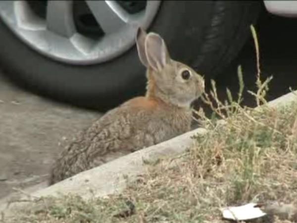 Peur sur la ville, ou presque : des lapins crétins vandalisent les voitures à Denver
