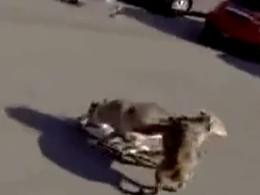 [Vidéo] Les loups russes rôdent maintenant dans les parkings